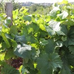 Pomoć sektoru vina