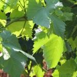 Restrukturiranje vinograda